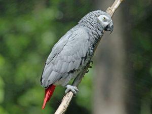 perroquet gris du gabon éclairage pour oiseaux