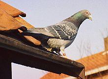pigeon voyageur éclairage pour oiseaux
